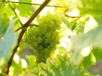 vigne-de-cepage-blanc